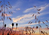 Colorful sky at sunrise, oat plants and seedpods of poppies poster
