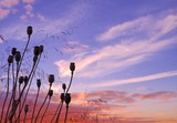 Seedpods of poppies on intense cloudy sky before sunrise poster