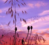 Seedpods of poppies and oats at dawn poster