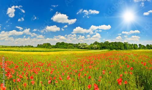 Fototapeta Summer meadow with poppies