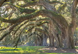 Fototapety Live Oak Tree