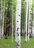 Fototapeta Colorado Aspen Trees