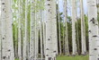 Aspen Trees near Colorado in autumn