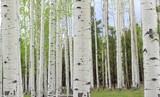 Fototapeta Aspen Trees near Colorado in autumn