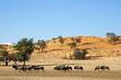 Blue wildebeest in natural habitat, Kalahari desert