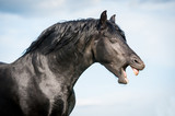 Fototapeta Beautiful black friesian stallion yawning