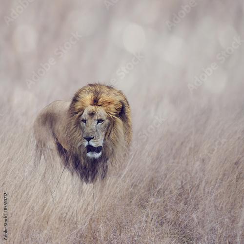 Lion - 85510712