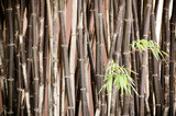 Naklejka Bamboo in the northern of Thailand