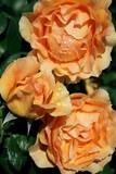 Fototapeta Gelbe Rosen nach dem Regen!