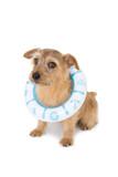 浮き輪をした犬