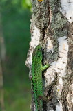 Fotoroleta Green lizard on birch