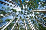 Naklejka Aspen Trees