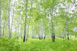 Fototapeta birch forest