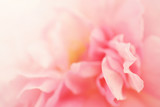 Fototapety Sweet roses in soft color style for background