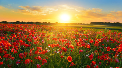 Poppy field at sunrise in summer countryside