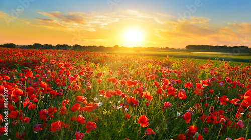 Fotobehang Klaprozen Poppy field at sunrise in summer countryside