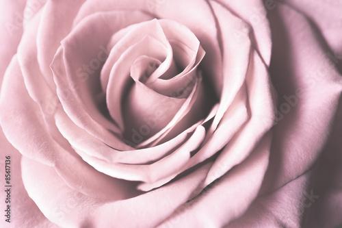 Pink Rose © hookmedia