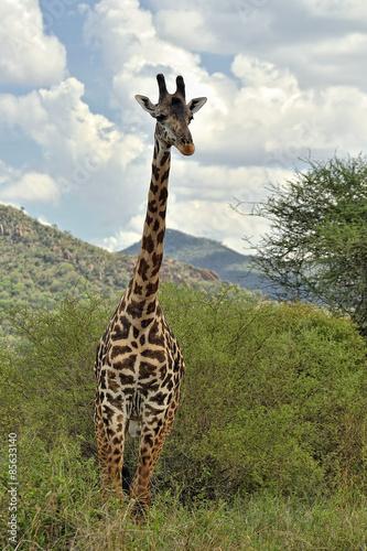 Fototapeta Giraffa