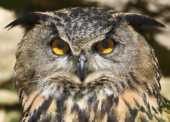 eagle-owl eyes