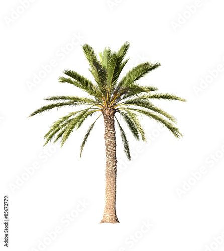 Big palm tree isolated on white - 85672779
