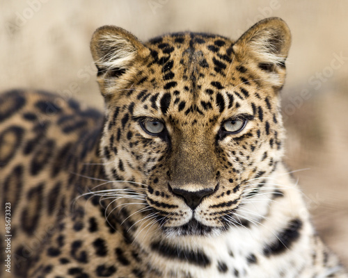 close up portrait of an Amur leopard making eye contact