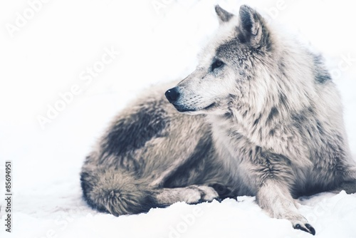 Arctic Wolf - 85694951