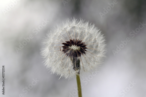 Beautiful Dandelion flower - 85712554