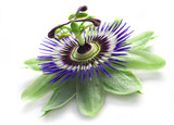 passionflower isolated