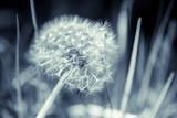 Fototapeta Dandelion flower with fluff, blue toned