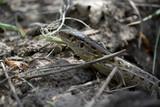 Fotoroleta Любопытная ящерица
