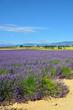 Provence, lavender field