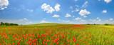 Poppy field in summer countryside