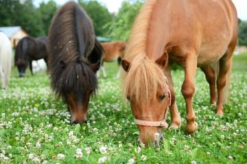 Falabella Foal mini horses grazing on a green meadow