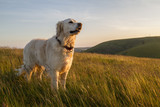 Fototapety dog enjoying evening sun walk