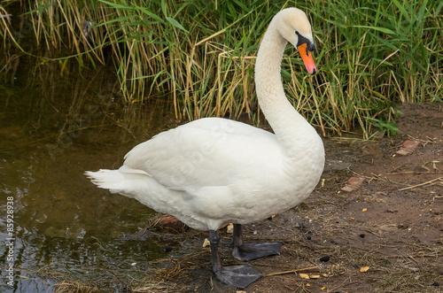Fotobehang Swan on the bank
