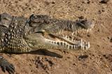 Fotoroleta crocodile portrait