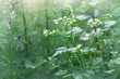 chamomile buds