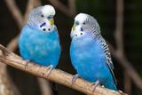 Fototapeta Blue Parakeets