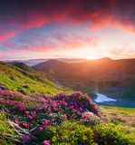 Magic pink rhododendron flowers in the mountains at sunrise.