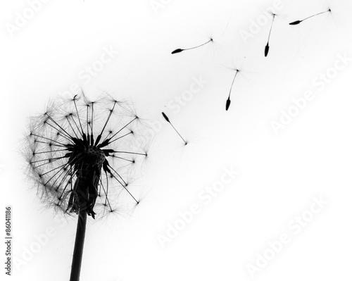 Naklejka Dandelion, Single Flower, Flower.