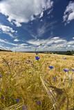 Fototapeta Feld im Sommer
