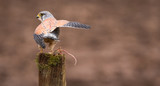 this way.. A wild kestrel on an old farm post