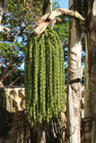 Fishtail palm tree or Caryota urens with growing green seeds, Oahu, Hawaii  poster