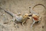 Fotoroleta bearded dragon or pogona vitticeps