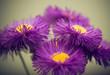 violet flowers closeup