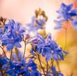 blue flowers at sunset light