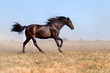 Black young horse run in field with clouds of dust