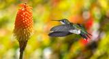 Fototapeta Hummingbird (archilochus colubris) in flight with tropical flowe