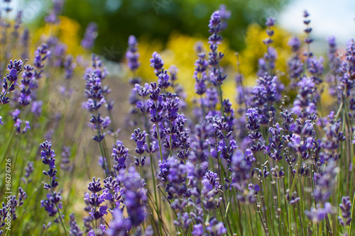 Naklejka close-up of lavender