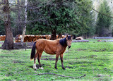 Fototapeta Young horse standing on the grass